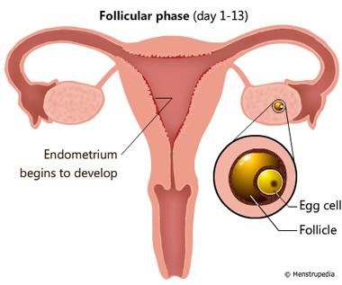Follicular phase (day 1-13)