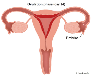 Ovulation phase (day 14)