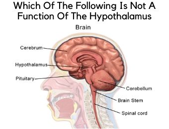 Which Of The Following Is Not A Function Of The Hypothalamus?